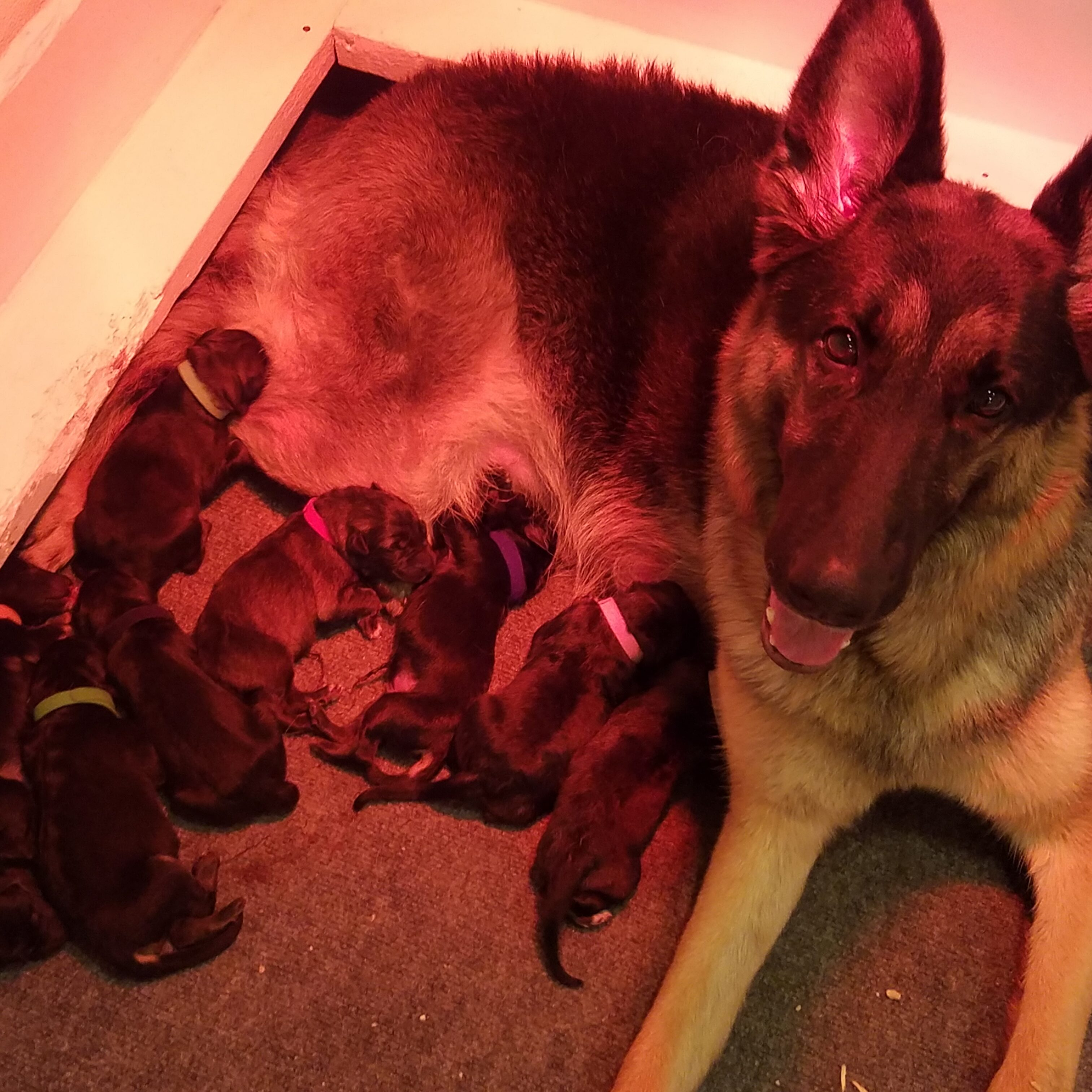 Janry Pet Resort, Janry German Shepherds, German Shepherd, Stewartsville NJ, Puppies, Puppy
